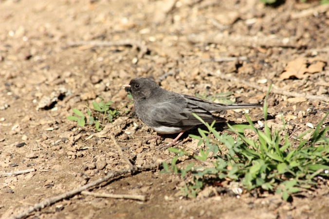 dark-eyed-junco-on-ground